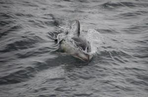 Delfin in Telegraph Cove