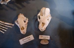 Vergleich der Schädel, Grizzly, Seelöwe