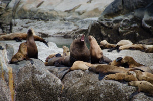 Seelöwen auf Felsen